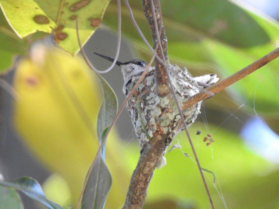 Ruby_throated_Hummingbird_Nest_4_18_18_Cypress_swamp